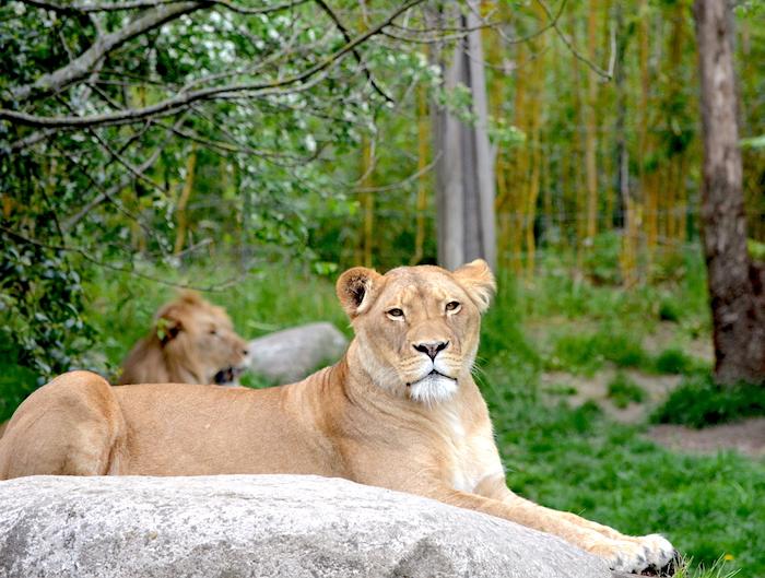weiblicher Löwe im Zoo Leipzig