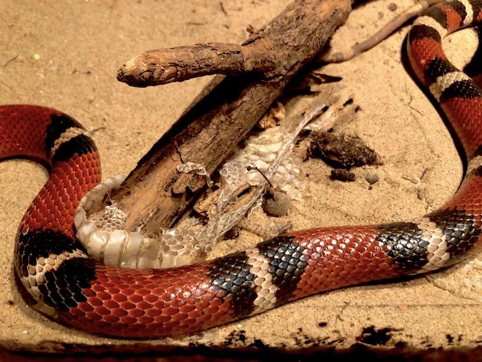 Schlange im Burgers Zoo