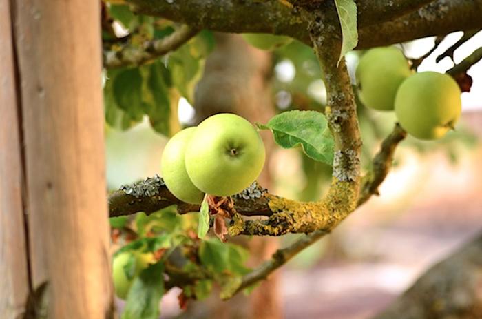 Apfelbaum in Bad Arolsen
