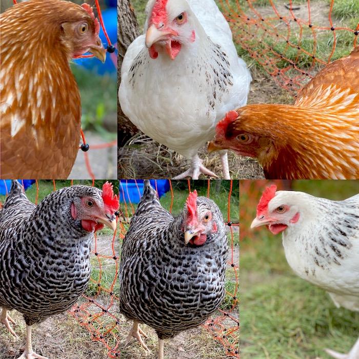 Hühner - Beitrag über das Thema Hühner mieten