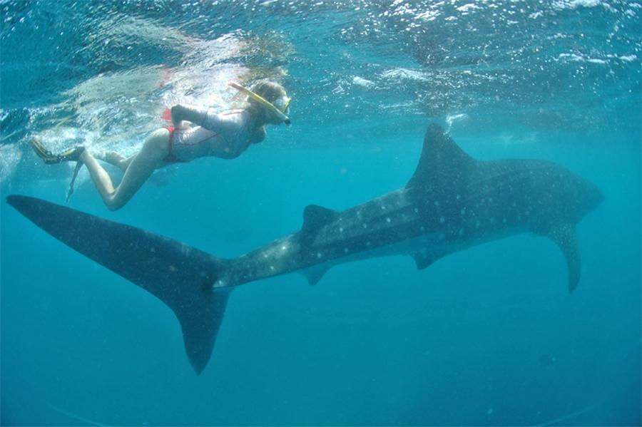 Elischeba Wilde schwimmt unter Wasser mit einem Walhai in Kenia