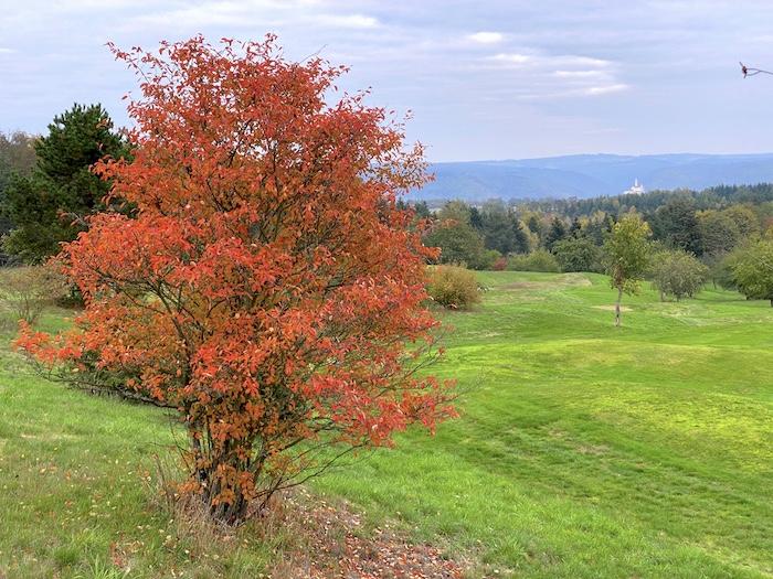 Baum im Herbst in Boppard