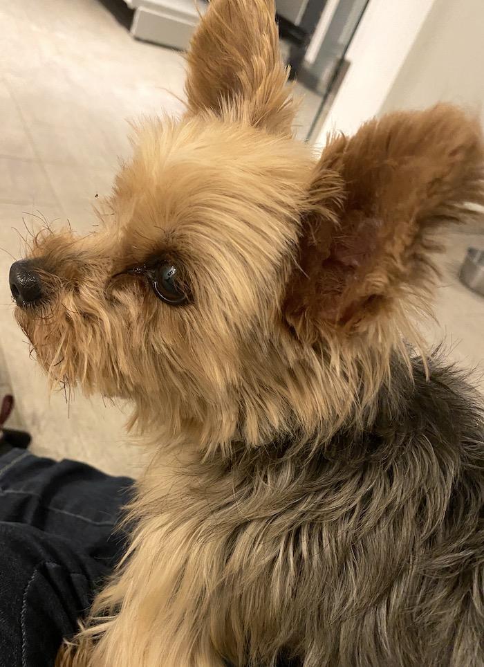 Hund aus dem Tierheim - Yorkshire Terrier