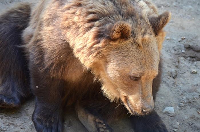 Braunbär im Wildpark Willingen