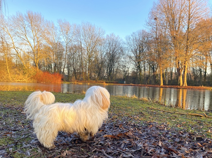 Baumwollhund - Coton de Tulear - Bonnie