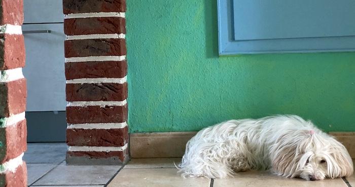 weisser Hund am Schlafen